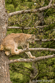 Canada Lynx climbing in a tree, getting a better view of prey