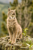 Canada Lynx posing, listening to a curious noise nearby