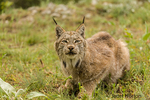 Canada Lynx searching for prey in a meadow