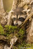 Baby raccoon climbing on a dead tree