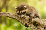 Baby raccoon climbing on a dead tree in a rather precarious position