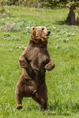 Grizzly Bear in meadow, standing on one leg as if dancing