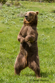 Grizzly Bear standing in a meadow