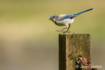 Scrub Jay landing on fence post