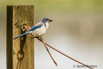 Scrub Jay on wire