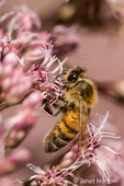 Honeybee pollinating flower