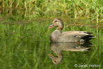Male Gadwall swimming in a pond
