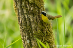 Common Yellowthroat perched on a tree