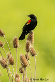 Male Red-winged Blackbird perched on dried thistles