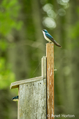 Tree Swallows at nesting box