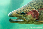 Close-up of a male rainbow trout in the Sturgeon Viewing Center