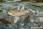 Rainbow trout during a feeding frenzy