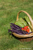 Basket of freshly harvested produce (Violet Podded pole beans, Golden Gate pole beans, strawberries, Continuity lettuce)