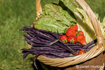 Basket of freshly harvested produce (Violet Podded pole beans, Golden Gate pole beans, strawberries, Continuity lettuce)