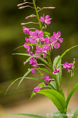 Common Fireweed in bloom