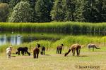 Krystal Acres own the largest herd of alpacas in the San Juan Islands.