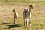 Krystal Acres own the largest herd of alpacas in the San Juan Islands.