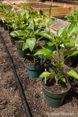 Red bell pepper plants ready to be planted in a raised bed garden