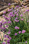 Chives plant in blossom
