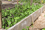Snow pea seedlings in a raised bed garden