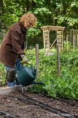 Sixtyish woman hand watering her snow pea seedlings in a raised bed garden