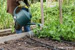 Sixtyish woman hand watering her snow pea seedlings in a raised bed garden