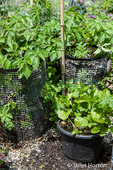 Potato plants growing in potato cages