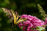 Western Tiger Swallowtail butterfly pollinating a Black Knight Butterfly bush