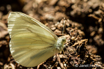 Margined White butterfly
