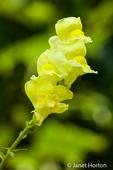 Snapdragon in bloom