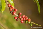 Coffee trees produce red or purple fruits called