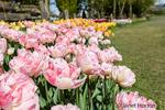 Tulip garden at Roozengaarde Display Garden