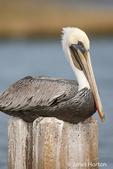 Brown Pelican in non-breeding plumage