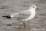 Ring-billed Gull in non-breeding plumage