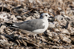 Laughing Gull in non-breeding plumage, well camoflaged on the beach
