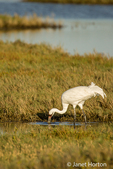 Adult Whooping Crane eating