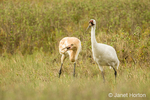 Adult and immature Whooping Crane