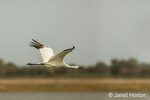 Adult Whooping Crane flying