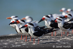 Black Skimmer in non-breeding plumage