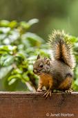 Douglas Squirrel sitting on a deck railing