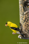 Male American Goldfinch perched on a seed feeder
