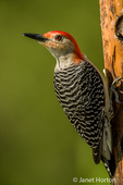 Red-bellied Woodpecker eating at a log suet feeder