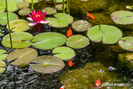 Waterlillies blooming in a pond filled with goldfish