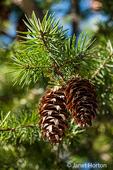 Douglas Fir tree cones