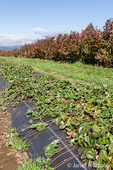 Strawberries growing mounded under black garden fabric, to reduce weeds and provide good drainage, at The Gorge White House Fruit Stand