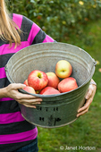Woman holding a bucket of freshly picked Honeycrisp apples at Draper Girls Country Farm
