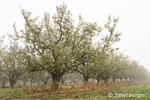 Bartlett pear tree orchard on a foggy morning