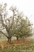 Bartlett Pear tree with Scentry insect trap in it