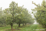 Bartlett pear tree orchard on a foggy morning