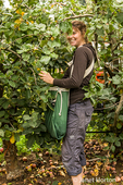 Young woman picking apples in the Kiyokawa Family Orchards